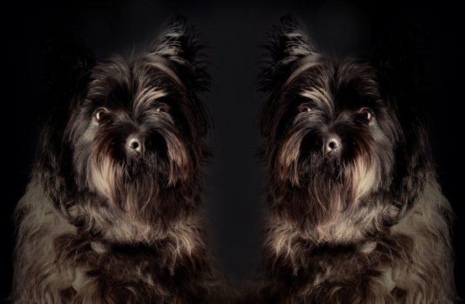 zwillingehunde 665x435 - Zwiespalt mit Zwillingen: Des einen Glück ist des anderen Leid -