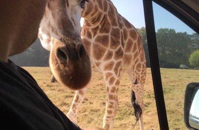 """serengetiparkgiraffe 665x435 - Leser-Ausflug in den Serengeti-Park Hodenhagen: """"Warum unser Sohn jetzt nur noch von knutschenden Giraffen erzählt"""" -"""