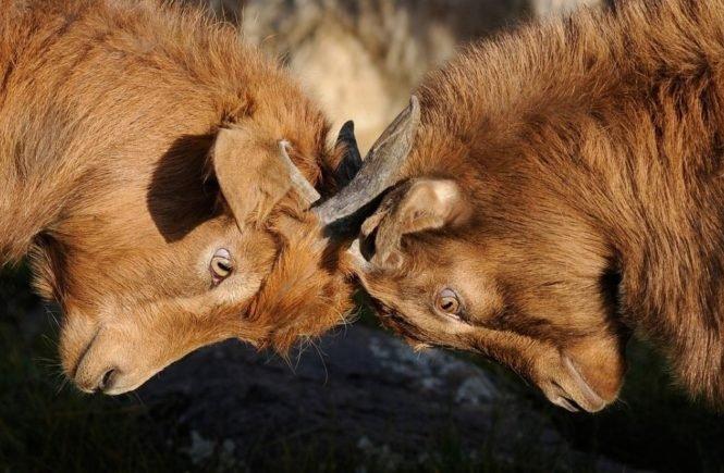 goats 692660 1280 665x435 - Leserfrage von Miriam: Warum streiten sich meine Kinder so viel? -